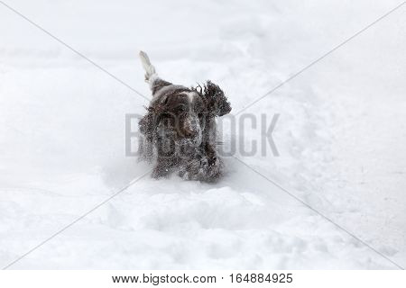 English Cocker Spaniel Dog Playing In Fresh Snow