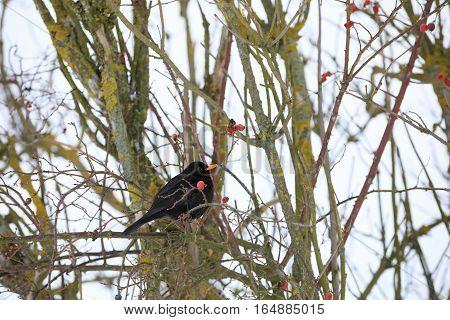 Male Of Common Black Bird In Winter