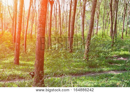 rubber tree in garden nature with sunset light tone