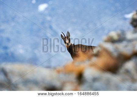 Alpine chamois hidden among the rocks photographed in an Italian park