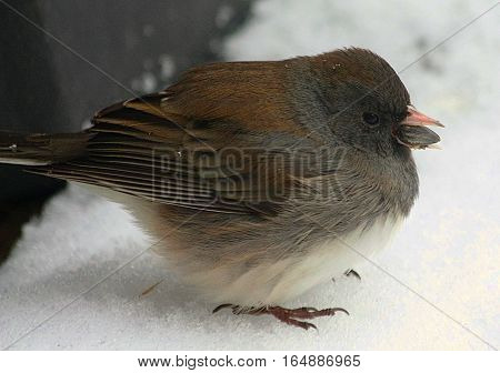 A dark eyed junco bird is sitting in the snow, all puffed up trying to keep warm while holding a sunflower seed in his beak.