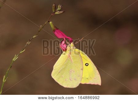 A bright yellow clouded sulphur butterfly sipping nectar from a pink wildflower bloom with a dark background.