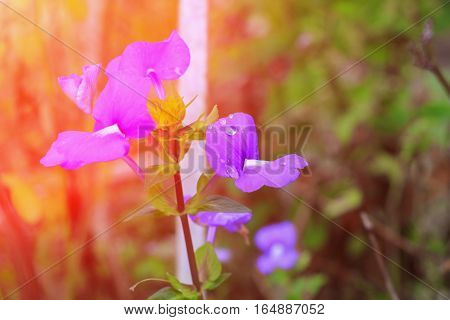 Purple Brazilian snapdragon beautiful flower and drop of water with sunset light tone Select focus with shallow depth of field ( Otacanthus caeruleus Lindl Blue Hawaii bush)