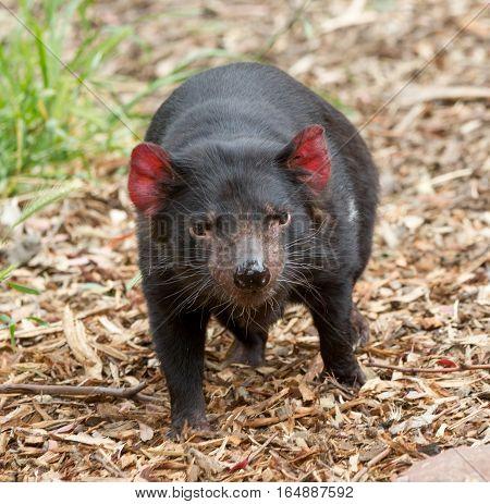 Hobart Tasmania Australia - December 27 2016: Tasmanian devil Sarcophilus harrisii