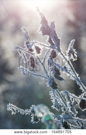 A shrub covered with hoarfrost is photographed in the backlight.