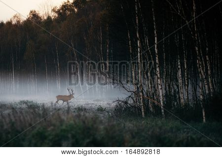 Beautiful red deer stag goes to foggy misty forest landscape in autumn in Belarus.