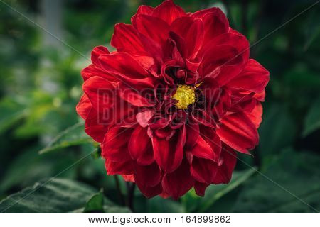 Large red dahlia flower with yellow center button and green background.