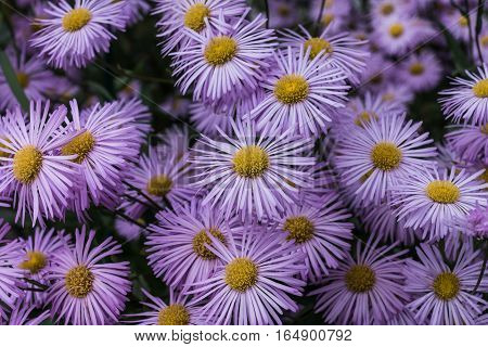 Bunch of pink and purple aster flowers with yellow pistills in the center.