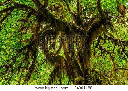 Tree covered with moss in the temperate Hoh Rain Forest