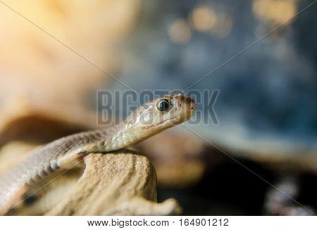 Corn snake on a branch desert sand summer