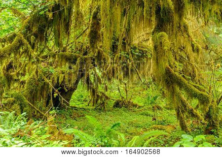 forest of trees closeup covered with moss on rain forest