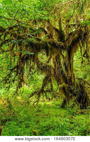 knotty tree covered with moss in the temperate Hoh Rain Forest
