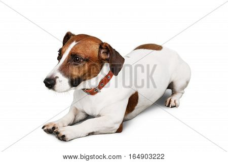 Jack Russell Terrier Lying  Down on the Ground
