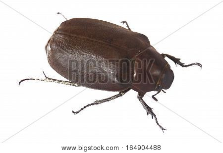 The female beetle Hercules on a white background front view
