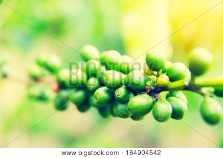 Close up Coffee cherries or coffee bean ripening on tree with sunlightselective focus area
