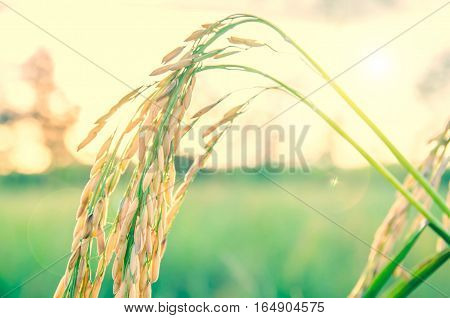 rice in Rice field in sunset time
