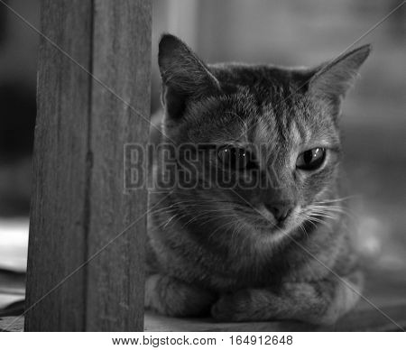 BLACK AND WHITE PHOTO OF TABBY CAT ON WOODEN CHAIR