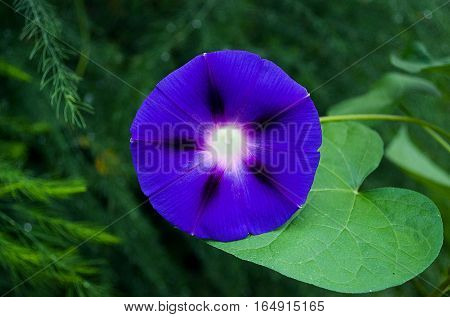 Beautiful morning glory flower after rain in summer outdoors in the garden