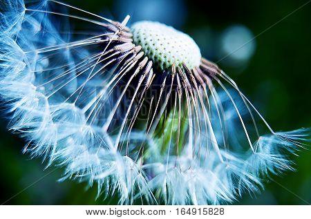 Gentle Dandelion fluff macro outdoors , focus,