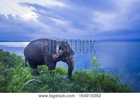 Asian elephant in Uda Walawe national park, Sri Lanka ; specie Elephas maximus maximus family of Elephantidae