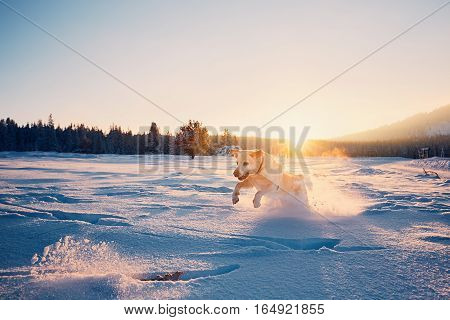 Dog in winter nature. Yellow labrador retriever playing with stick on the snowy meadow during sunset
