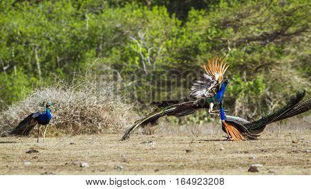 Indian peafowl in Bundala national park, Sri Lanka ; specie Pavo cristatus family of Phasianidae