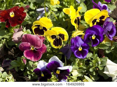 Flowerbed with many pansies viola tricolor of different colors.