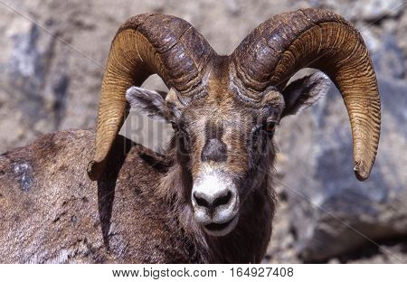 Close up view of a large horned goat