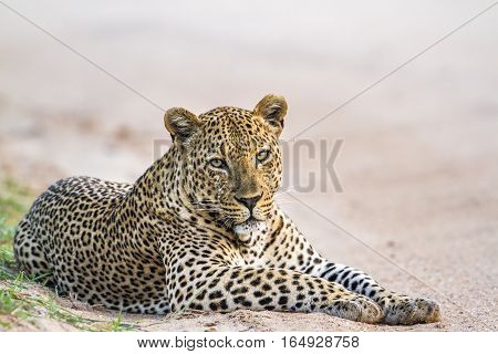 Leopard in Yala national park, Sri Lanka ; Specie Panthera pardus family of felidae