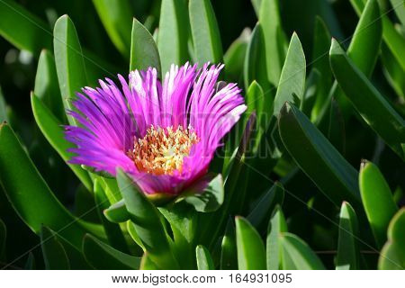 Beautiful purple Pigface flower in full bloom on a midwinter day