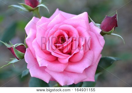 Exquisite pink rose with red buds next to it