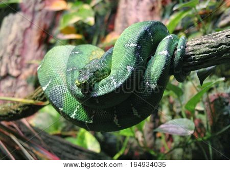Emerald tree boa resting in tree in natural setting