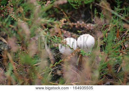 Two Fruit Bodies Of Lycoperdon Perlatum, Popularly Known As The Common Puffball