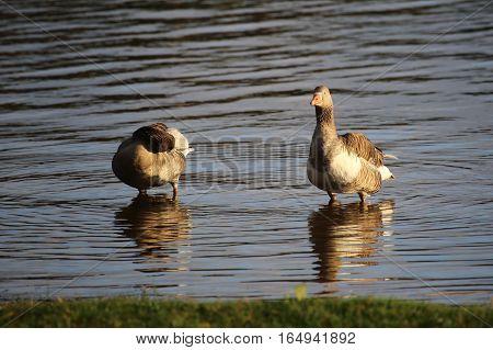 Greylag Goose (anser Anser) Couple Standing In Water