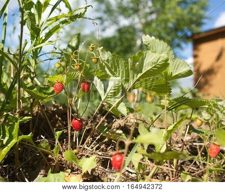 Many ripe strawberry grows on ground in grass close up
