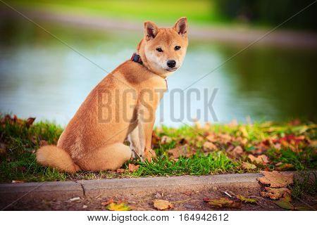 A young shiba inu sits in green garden.