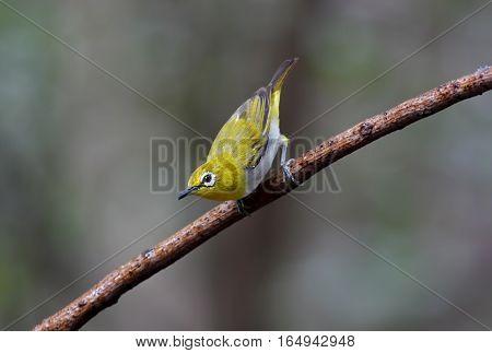 Oriental white-eye Zosterops palpebrosus Little Birds of Thailand