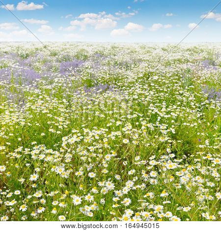Field with daisies and blue sky focus on foreground. Shallow depth of field.