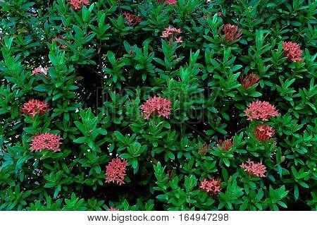 Bush of red ixoras in a beautiful garden.