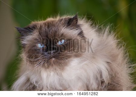 Portrait of a Himalayan cat with intentionally blurred background
