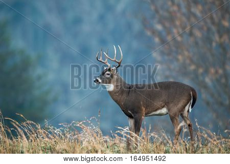 Large White-tailed Deer With Fall Colors