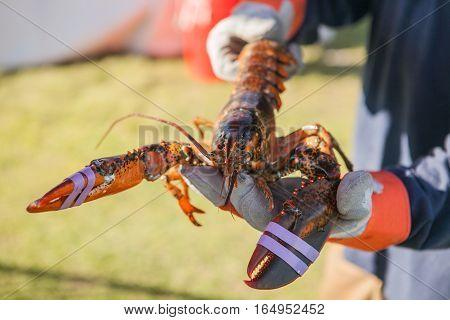 Freshly steamed and boiled huge lobster. Lobster food festival