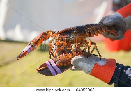 Freshly steamed and boiled huge lobster. Lobster food festival