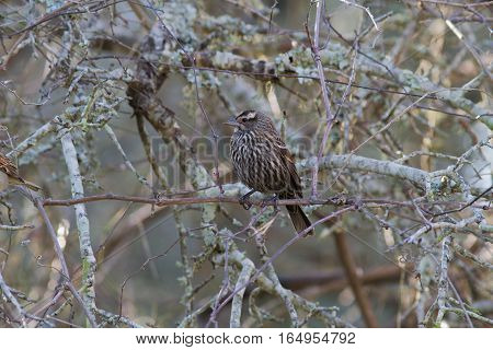 Female red-winged blackbird sitting in bush in edge of woods.