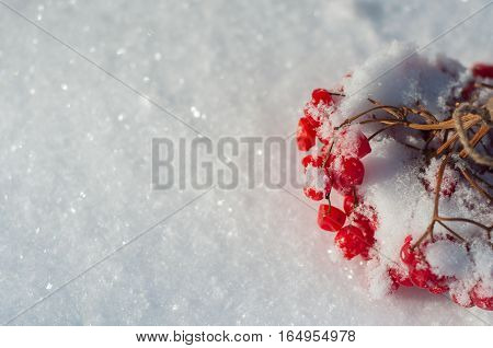 Bunch of red viburnum on the white snow empty space