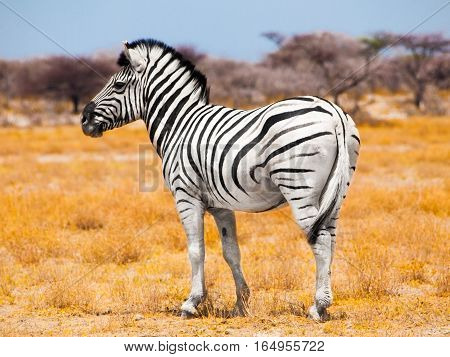 Zebra standing in the middle of dry african grassland, Etosha National Park, Namibia, Africa-