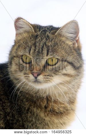 portrait of beautiful grey cat with stare sight