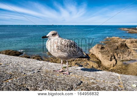 Seagull in front of a sea in Saint-Malo, Bretagne, France
