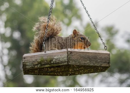 Fox Squirrel in feeder stealing peanuts from the birds.