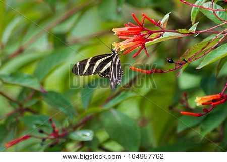 Zebra Longwing sipping nectar from flowers in yard.